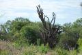 Cactus imens, uscat