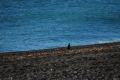 Un pinguin solitar