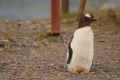 Un pinguin calator