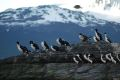 Cormorani si pescarusi