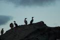 Gasca de cormorani