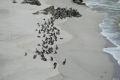 Pelicanii la intrunire pe plaja