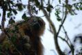 Maimuta urlatoare, pui