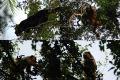 Maimute urlatoare